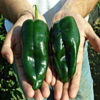Poblano peppers are a super all-around pepper to have in the garden. I just love the taste of poblano peppers; having mild heat and a bit of a twang