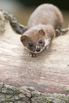 Weasel by Ankehuber via Flickr