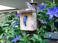 Bluebirds have found a house to build a nest in among the blooming Clematis.