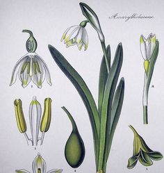 1905  SNOWDROP  Flower Garden  Chromolithography by