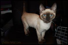 Animals, Cat Breeds, Animales, Animaux, Animal Memes, Animal, Animais, Dieren