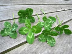 Four Leaf Clovers...I can always find them! I passed this gift along to my daughter. ☺