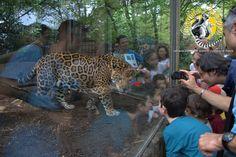 giaguari Giardino Zoologico di Pistoia