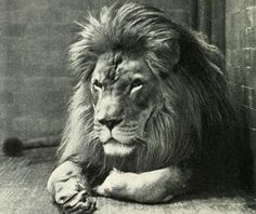 Extinct Barbary Lions of Africa Could be Back to Life Soon