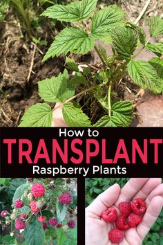 Transplanting Raspberry plants for a berry patch — Day to Day Adventures Raspberry Plants, Strawberry Plants, Plants, Growing Fruit, Organic Berries, Organic Gardening, Berries, Strawberry Garden, Berry Plants