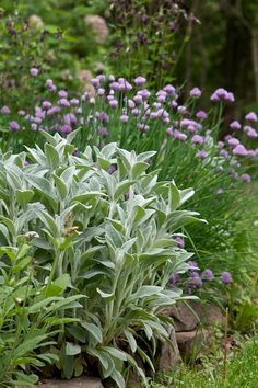 Old standbys: Lambs ears (Stachys byzantina) and chives (Allium schoenoprasum). Great combo and easy to propagate. Grow chives to deter against aphids, apple scab and mildew. Love Garden, Dream Garden, Herb Garden, Garden Plants, Summer Garden, Stachys Byzantina, All Nature, Garden Cottage, Exterior