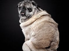 Beautiful Old Dogs: Touching Portraits of Our Senior Best Friends - reminds of my precious ollie! Baby Pugs, Baby Puppies, Dogs And Puppies, Old Pug, Pugs And Kisses, Animal Portraits, Pug Love, Large Dogs, Animal Photography