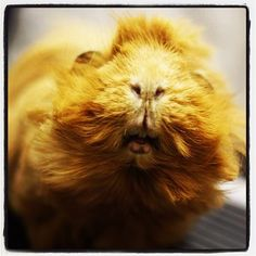 Meet Gingy the guinea pig. He was in for a hair cut last week. #guineapig #guineapigsrock #cute #drbelindathevet