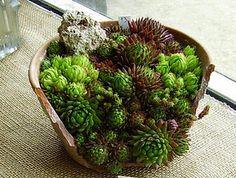 succulents in a broken pot