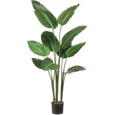 Bird of Paradise Plant in Plastic Pot Green 5ft (¥18,495) ❤ liked on Polyvore featuring home, home decor, floral decor, green pots, tropical home decor, green home decor, tropical silk plants and plastic pots