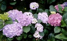 Hydrangea Growing Tips - Hydrangeas are wonderful, hardy shrubs that would certainly have to be included on a list of the ten best flowering plants. Hydrangea Potted, Climbing Hydrangea, Hydrangea Colors, Hydrangea Care, Hydrangeas, Growing Hydrangea, Planting Flowers, Flowering Plants, Rabbit Garden