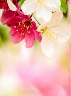 ~~entwined blossoms   pink and white flowering crabapple blossoms intermingle   by Vicki Maher~~