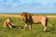 """""""Lion Attraction"""" by Barbara Hayton: This lion couple was photographed while on safari in Serengeti National Park, Tanzania."""