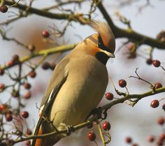 Waxwing Bird Feathers, Creatures, Bohemian, Birds, Animals, Animales, Animaux, Bird, Boho
