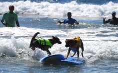 Surf City Surf Dog #surf http://www.x6sports.com/surf-city-surf-dog/