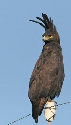 Crested Eagle.  This fellow always looks like he's having a bad hair day as he stands sentry on telephone poles.   Always found in association with forrest areas.