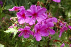 3 Geranium palmatum Hardy Low maintenance Evergreen Shade Plant