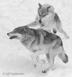 """xxxsilverwolfxxx: """"Wolves at play. """""""