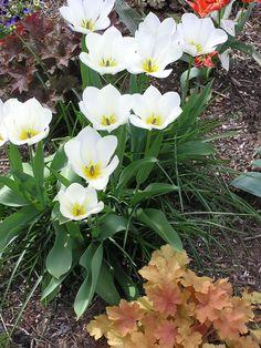 April species tulips