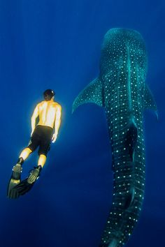 Swimming with whale sharks in Belize! This is on my 10-year-old's wishlist. #AlamoDriveHappy #ad