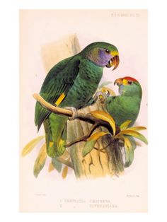 Joseph Smit Parrots Plate 9 Giclee Print by Porter Design at Art.com