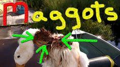 Maggot Duck, Rescuing 100+ Ducklings #8 Raising Ducks For Charity