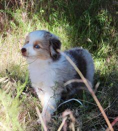 Red Merle Mini Aussie from Honey Lake Mini Aussies Mini Aussie Puppy, Toy Aussie, Aussie Puppies, Dogs And Puppies, Aussies, Australian Shepherd, Corgi, Honey, Red