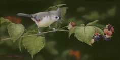 Tufted Titmouse on a black raspberry branch.