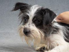 Adopt Venus, a lovely 2 years Dog available for adoption at Petango.com. Venus…