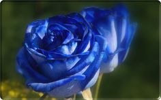 blue-rose-flower-pictures-242