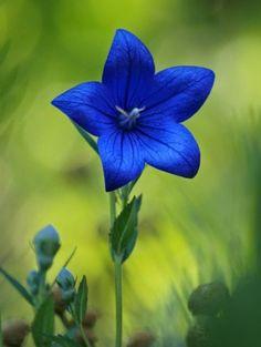 Modrá hvězda květina