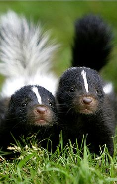Sibling baby skunks...one with a white tail, one with black and both very cute!