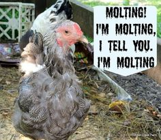 How to care for your flock when the chickens are molting. Helpful tips for feeding your chickens during molt. It is normal for chickens to molt each year
