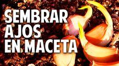 Como plantar ajo en maceta - Tan facil que me da verguenza @cosasdeljardin