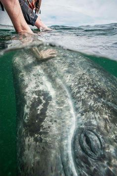 Stroking a Grey Whale (Серый кит) Beautiful Creatures, Animals Beautiful, Beautiful Beautiful, Beautiful Places, Animals And Pets, Cute Animals, Strange Animals, Gray Whale, Delphine