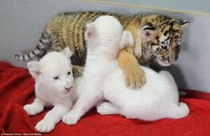 Cubbing together! White baby lions adopted by dog after their ...