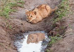 """Stalking Lion"" by Ed Dornfeld: The mighty hunter awaits his prey at the waterhole, ready to pounce."