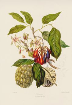The Custard Apple Tribe Complete Margins Not Shown but Intact from Original Hand colored Antique Lithographs