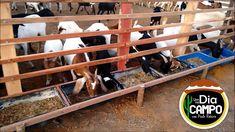 Cabras Boer, Goat Shed, Goat House, Barn Stalls, Goat Barn, Goat Farming, Livestock, Farm Animals, Sheep