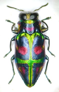 Chrysobothris quadrimaculata (Fabricius, 1776). Photo by Enrico Ruzzier