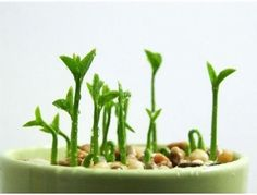 How to grow a lemon in a cup: 1. Save the seeds... | Crafthunters