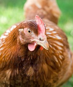 Periodically check the length and hardness of the beak. It can always happen that the upper beak of the hen grows too much. http://www.versele-laga.com/en-BE/countrysbest/Interesting-details/Laying-Hens/Beak #pettips