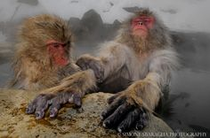 Snow monkeys chill out in the volcanic hot pools in the mountains of the Nagano region in Japan. Photographer Simone Sbaraglia, captured the cute Japanese macaques living in the freezing cold conditions. Japanese Macaque, Earth's Best, Relax, Animal Facts, Organic Matter, Cute Japanese, Reptiles And Amphibians, Animals Images, Photos Of The Week