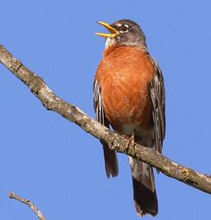 photo of american robin  | ... : Listen to the Robin Activity: Name that Tune Article: Robin Song