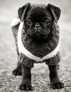 """""""It's cold out here! It's time for my sweater."""" Barking mad @ www.jointhepugs.com #PugPower #PugLife"""