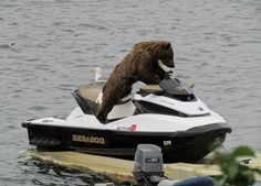 This curious bear may accidentally get the ride of his life.