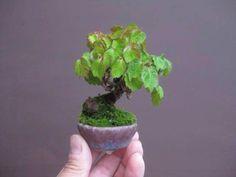 Bonsai miniature slanting