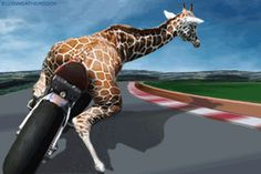 giraffe on motorcycle-gif