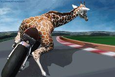 giraffe on motorcycle-gif