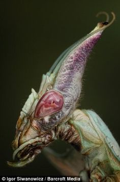 giant devil's flower mantis, right, could easily be an alien sent from space http://www.dailymail.co.uk/sciencetech/article-1383453/Bugs-eye-view-The-stunning-close-ups-worlds-unusual-creepy-crawlies.html#ixzz2HM0CxZcR Follow us: @MailOnline on Twitter | DailyMail on Facebook